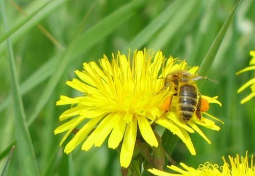 Mesilane oietolmuga