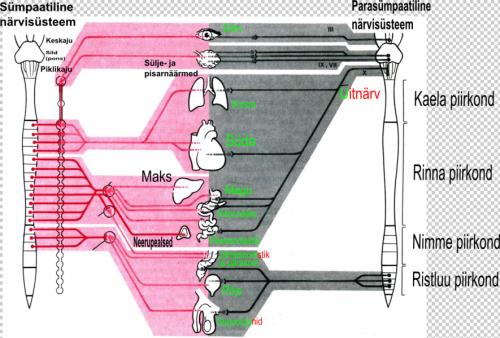 Isetervendamise_närvisüsteemi_organid