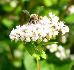 Mesilane tatraoiel vaike